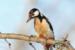 Closeup of great spotted woodpecker perched on branch ( Dendrocopos major ) Stock Photos