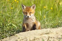 Cute european red fox puppy near the den ( Vulpes vulpes ) Stock Photos