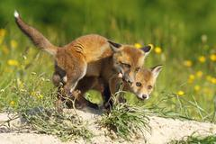 European fox cubs eating meat ( Vulpes vulpes, wild animals ) Stock Photos