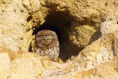 Little owl standing at the entrance of the burrow ( Athene noctua ) Stock Photos