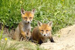 Two european red  fox cubs at the entrance of the den ( Vulpes vulpes, wild a Stock Photos
