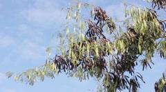 Horse tamarind tree, Leucaena fruit Stock Footage