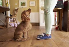 Cocker Spaniel Puppy Owner Training Dog To Sit Stock Photos