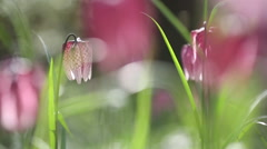 Beautiful pink flowers in wild nature,  Fritillaria meleagris Stock Footage