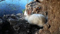 stray male white rabbit roaming at lake-shore - stock footage