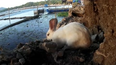 Stray male white rabbit roaming at lake-shore Stock Footage