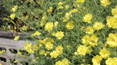 Yellow cosmos flower (Bidens bipinnata L.) Stock Footage