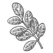 Acacia leaf. Vector vintage engraved illustration. Stock Illustration