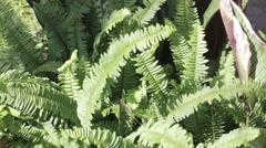 Green Tuber Sword Fern (Nephrolepsis biserrata cr.Furcan) Stock Footage