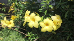 yellow golden trumpet (Allamanda cathartica L.) - stock footage