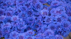 The blue cornflowers on the flower pots display Stock Footage