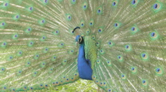 Peacock dismissed his luxurious tail Stock Footage