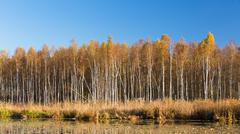 Panorama of Beautiful Birch forest and pond in autumn season - stock photo