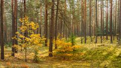 Autumn forest reserve park. Nobody. panorama - stock photo