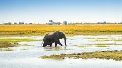 Elephant in Chobe National Park Botswana Stock Photos