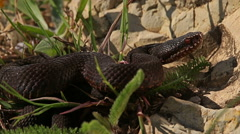 European Adder / Viper waiting for prey and ready for hunting, Vipera berus Stock Footage