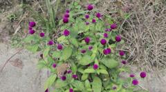 Purple Globe Amaranth or Bachelor Button Stock Footage
