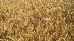 A ripe golden barley crop. Stock Footage