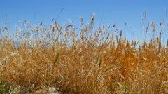 Oat field in summer close up Stock Footage