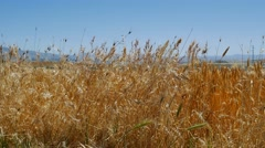 oat crop on an agricultural field - stock footage