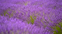 Blooming lavender in a field - stock footage
