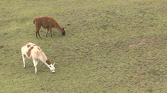 Two Llamas Graze Stock Footage