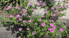 Pink vinca (Catharanthus roseus (L.) G.Don) - Apocynaceae Stock Footage
