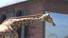 Tracking Shot Looking at a Giraffe's Long Neck and Head Stock Footage
