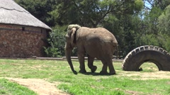 An Elephant Walks and Scratches its Foot Stock Footage