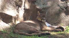 An Adult Cougar Rests in the Shade Stock Footage