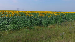 Aerial footage of sunflower fields swaying in the wind Stock Footage