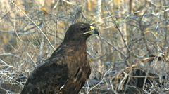 Close up adult galapagos hawk on isla santa fe in the galapagos Stock Footage