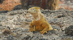 Close up of a land iguana turning its head on south plazas in the galapagos Stock Footage