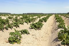 Agriculture, potato field - stock photo