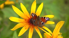 Peacock butterfly on yellow rudbeckia flower. 4K close up video Stock Footage