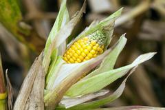 Mature corn crop Stock Photos