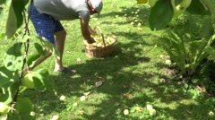 Male farmer in shorts pick up windfall fruits in apple garden. 4K Stock Footage