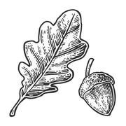 Oak leaf and acorn. Vector vintage engraved illustration. Stock Illustration