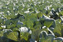Green cabbage in a field Stock Photos