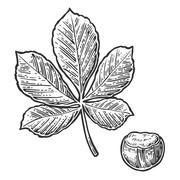 Chestnut leaf and nut. Vector vintage engraved illustration. Stock Illustration