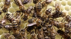 Queen bee lays eggs in the honeycomb Stock Footage