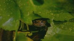 Winking green аrog floating in still water Stock Footage