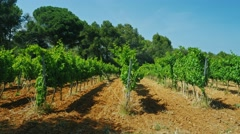 Steadicam shot: Rows of vines grow under the warm sun of Spain Stock Footage