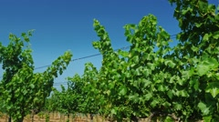 Crane shot: Vineyard on a sunny day - in the background the hills with Stock Footage