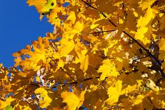 Yellowed maple leaves Stock Photos