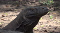 4k Komodo dragon very close up head fascial expression Footage