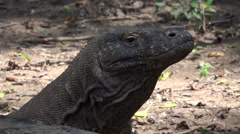 4k Komodo dragon very close up head fascial expression Stock Footage