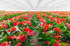 Anthurium plants in a greenhouse Stock Photos