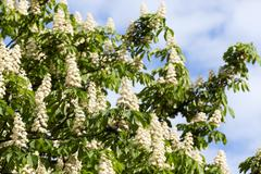 Blooming chestnut tree in the spring Stock Photos