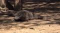 4k Komodo dragon resting sandy area mangrove forest Footage